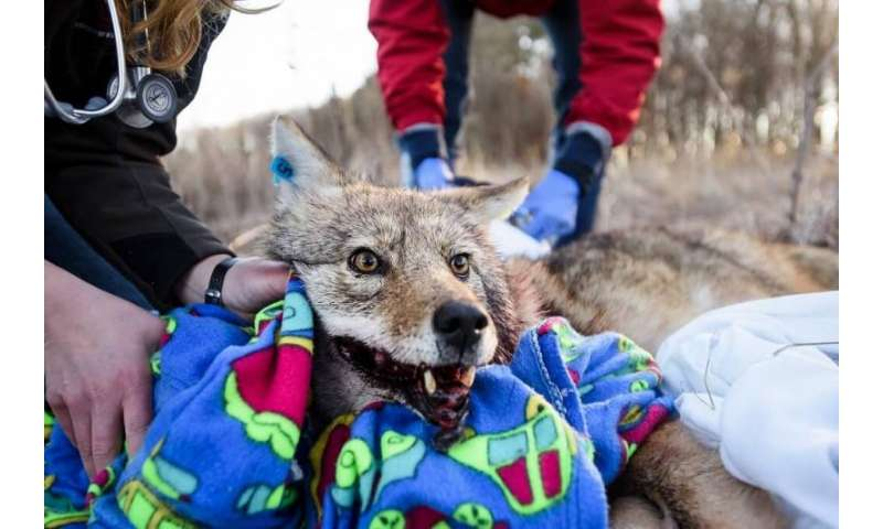 Urban Canid Project tracks coyotes and prevent conflicts