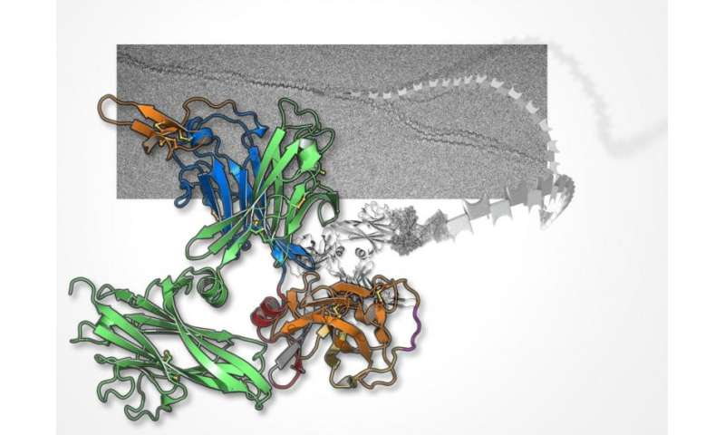 3D images reveal the body's guardian against urinary infection
