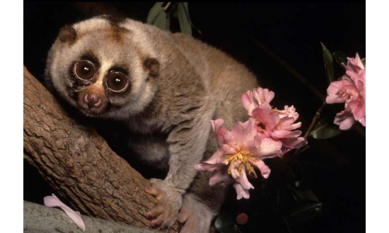 Dartmouth study with aye-ayes and slow loris finds that prosimians prefer alcohol