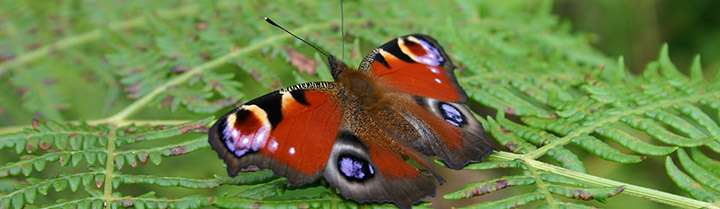 Extreme weather effects may explain recent butterfly decline