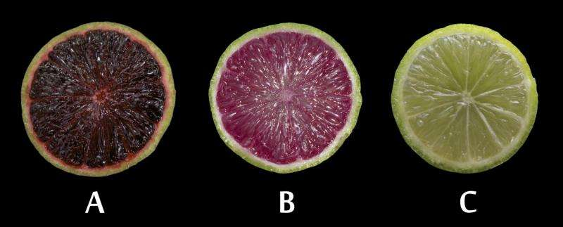 Genetically modified anthocyanin-expressing citrus developed