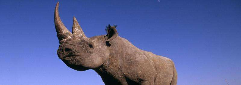 Record year for rhino poaching in Africa