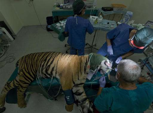 Tiger at Rome zoo undergoes root canal -- no bones for a bit