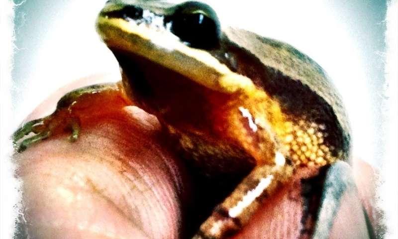 40-year-old chorus frog tissues vital to Louisiana hybrid zone study