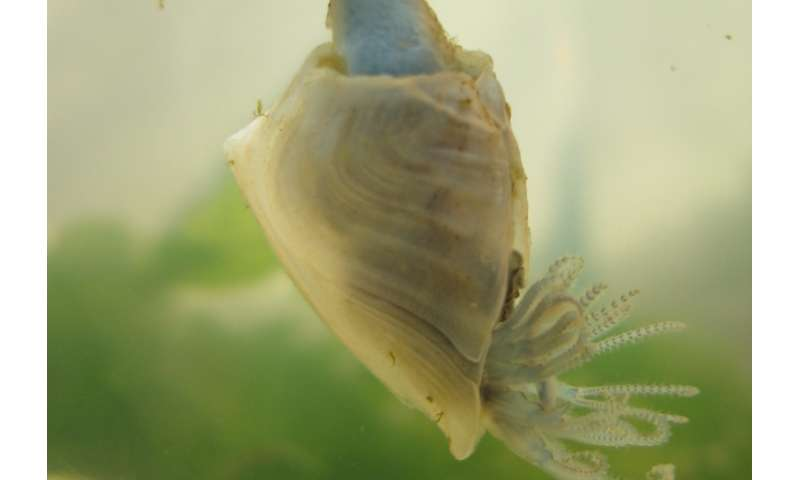Researchers investigate barnacle adhesive