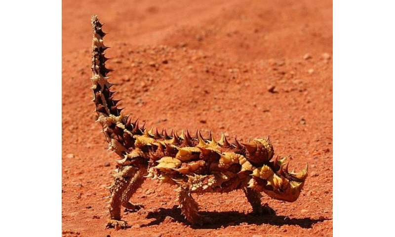 Thorny Devil Found To Drink Through Its Skin With Assist