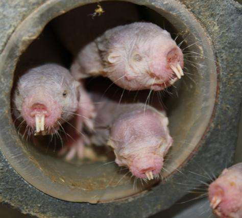 Study pinpoints why naked mole rats feel no pain