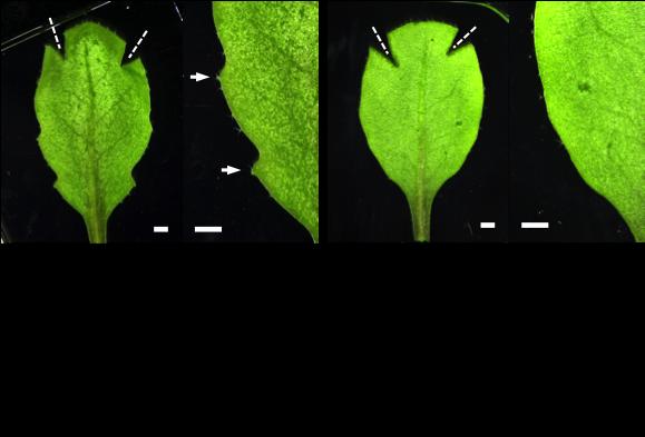 Unlocking the mystery on how plant leaves grow their teeth