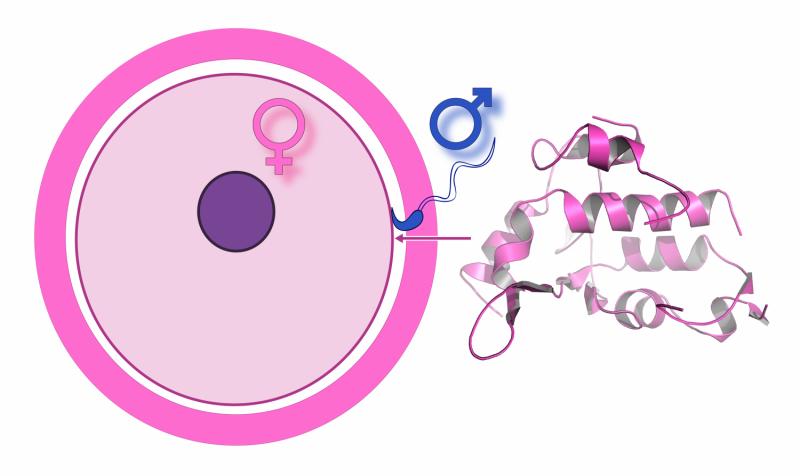 A step closer to understanding fertilization
