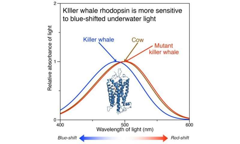Shedding light on the evolution of whale vision
