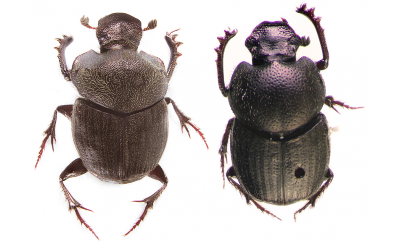 Two brand new dung beetle species from montane grazing sites and forests in Mexico
