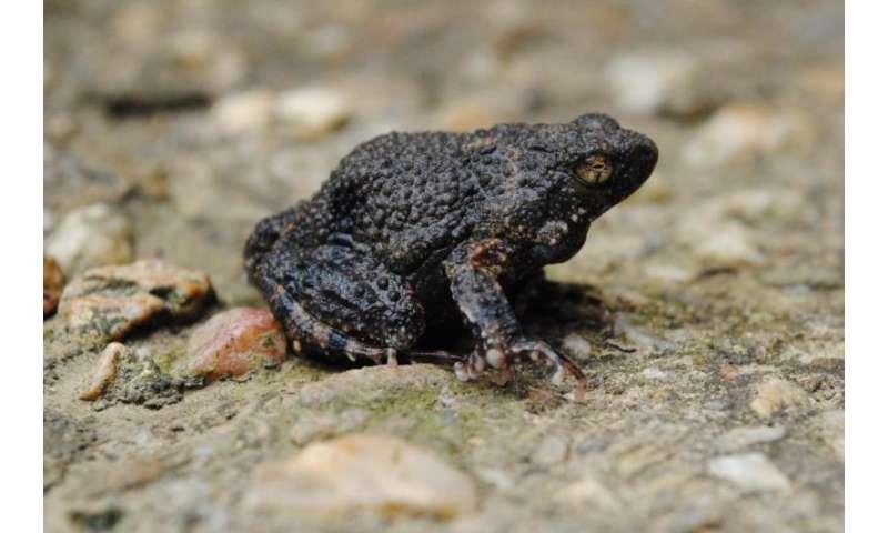 Using frog foam to deliver antibiotics