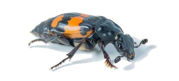Female burying beetle emits pheromone to ward off male desire during parental care