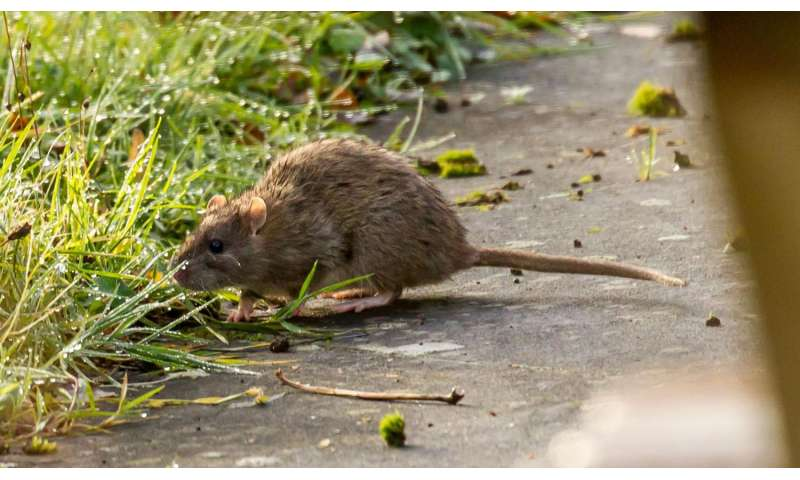 Why a rat eradication attempt on Henderson Island failed