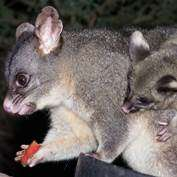 Possum personality is key to survival