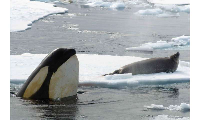 Orca cultural groups found to be genetically distinct