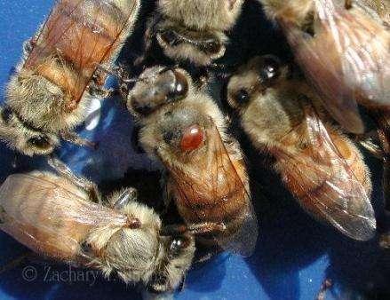 Bee vampire picks the right host to suck