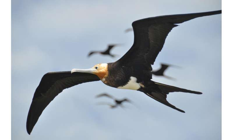Great frigate birds found able to fly for months at a time