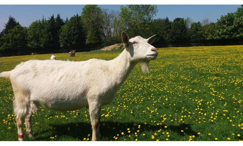 Could goats become man's best friend?