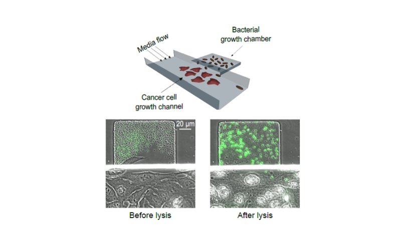 Synthetic biology used to limit bacterial growth and coordinate drug release