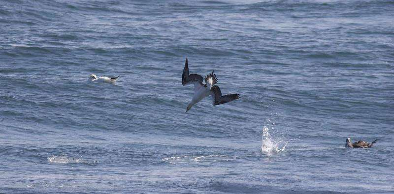 Ocean fronts attract ocean wanderers - foraging gannets on the front line