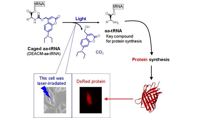 Photoreactive compound allows protein synthesis control with light