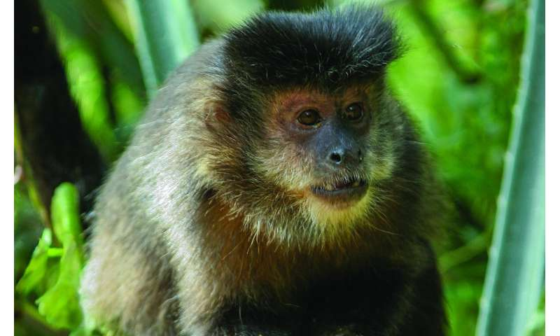 Wild capuchin monkeys found able to remember where and when their food was hidden