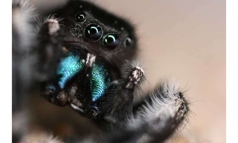 That jumping spider can hear you from across the room
