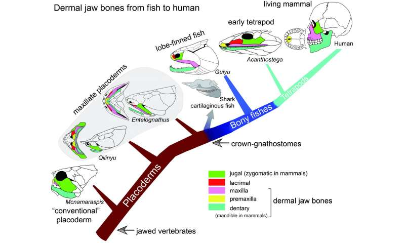 Early fossil fish from China shows where our jaws came from