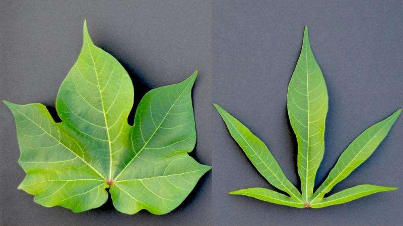 Researchers crack genetic code determining leaf shape in cotton