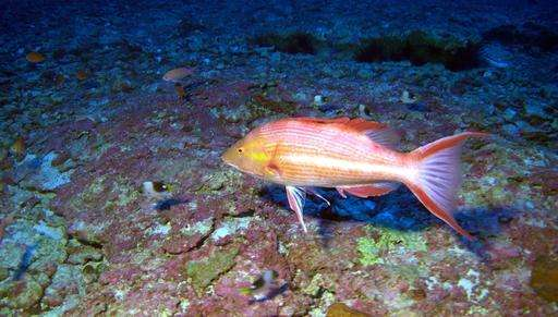Researchers discover 3 new species of fish off Hawaii