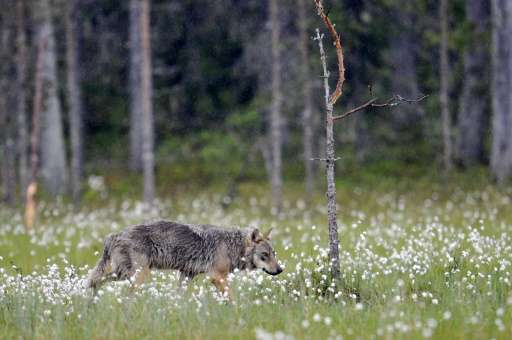 According to the Finnish Ministry of Agriculture and Forestry, 55 out of 290 grey wolves were culled during the 2015-2016 huntin