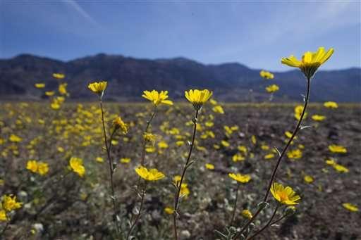 "Rare Death Valley ""super bloom"" carpets desert with color"