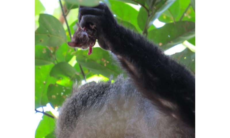 Torpid Snow Primates Found In Midwest >> Study Documents African Monkeys Eating Bats