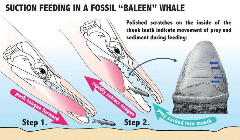 The evolution of the baleen in whales