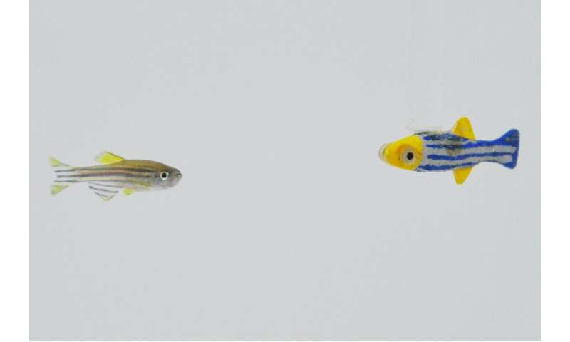 Researchers find zebrafish want to hang out with moving 3-D robotic