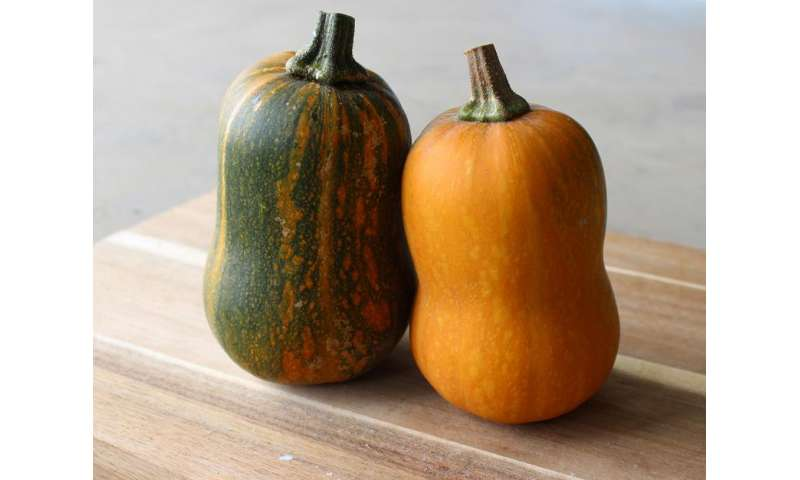 Researcher's squash hybrid changes color as it ripens