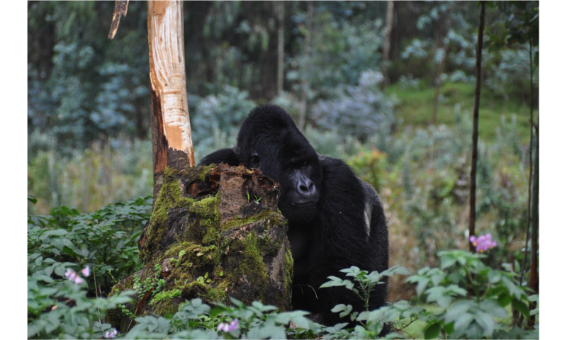 Researchers stress the need for research on Ebola virus disease in great apes