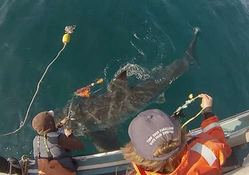 Researchers design new camera tag for white sharks