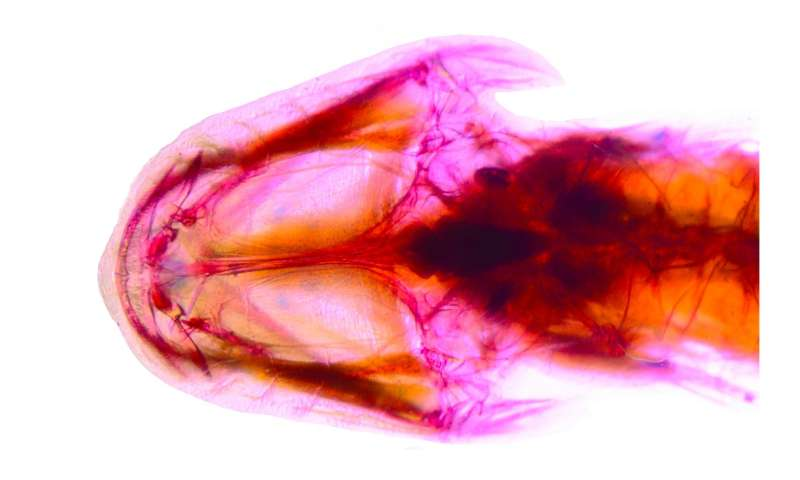 Researchers discover first sleeper goby cavefish in Western Hemisphere