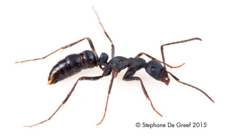 Researchers have documented the first known instance of insects moving prey by forming chains