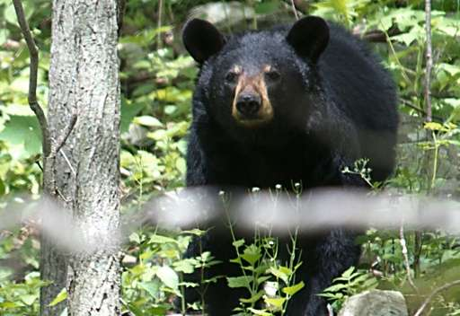 A black bear is seen in the Shenandoah National Park in Virginia