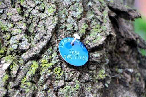 A blue medallion pinned to an ash tree in Chicago, indicating it has been treated with pesticide to kill the Emerald Ash Borer,