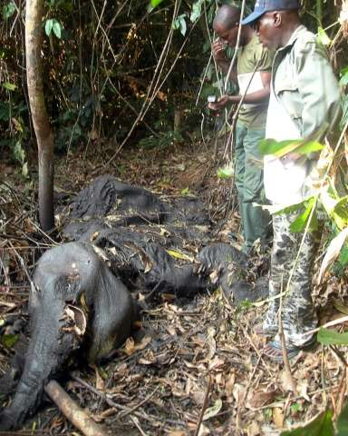 About 11,000 elephants have been slaughtered for their tusks in less than 10 years in the Minkebe national park in Gabon