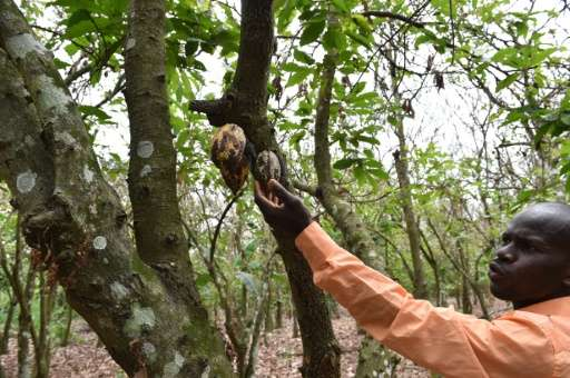 A cocoa farmer points to dried cocoa pods which were damaged by a caterpillar in a cocoa plantation in Tiassale, in the south-ea