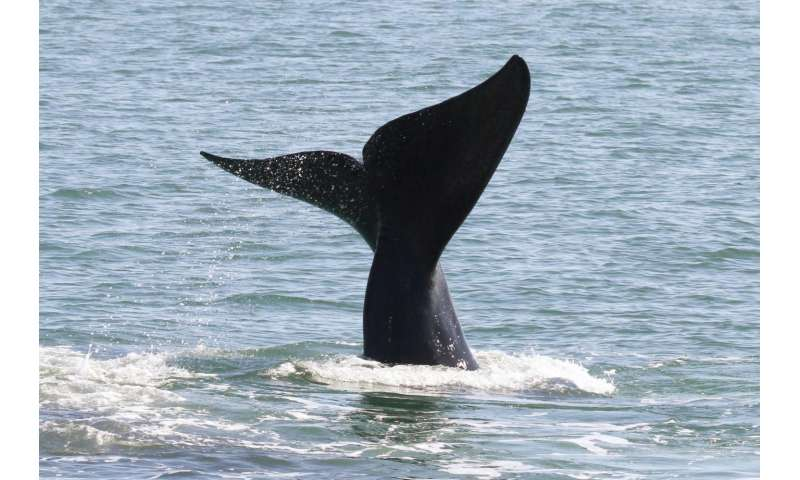 Acoustic buoy now detecting rare & endangered whales in New York Bight