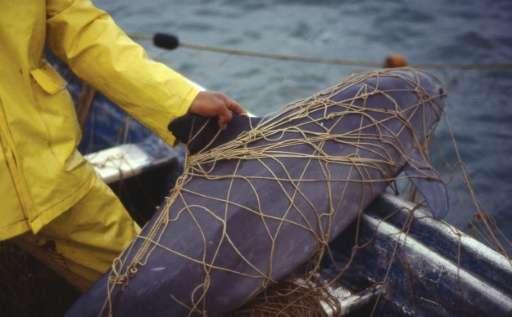 A dead vaquita marina is seen caught in a fishing net in Santa Clara Gulf, Sonora, Mexico