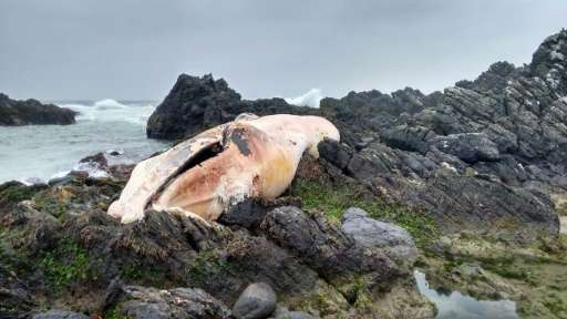 A dead whale on the seashore of the Coquimbo region