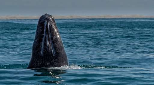 A deal between scientists and Sakhalin oil drillers has allowed the gray whale to bounce back, boosting their numbers by about h