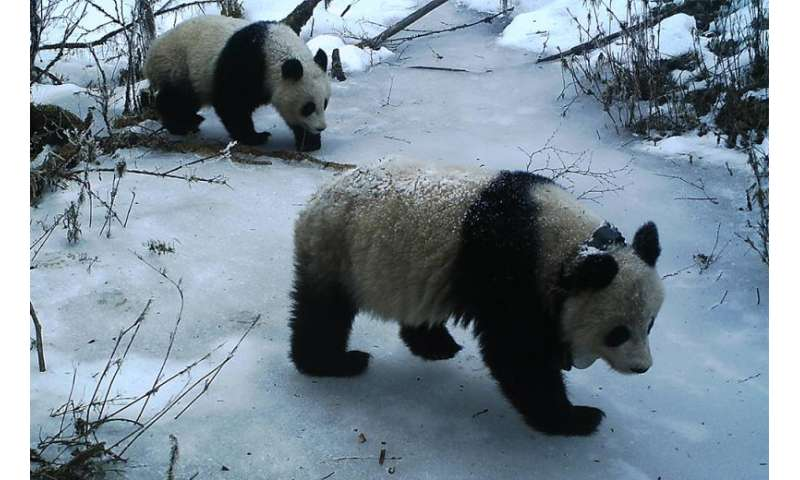 Adolescent female pandas not the demure homebodies once thought